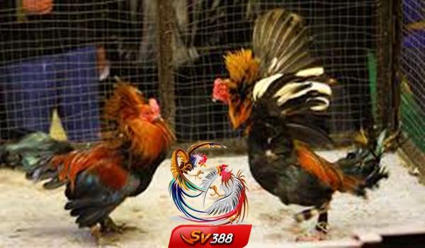 Tips Jitu Menang Laga Ayam Terbaru 2020